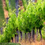 Wine caves improve vineyard site utilization
