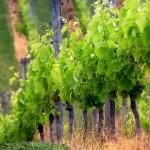 Wine caves improve vineyard site utilization
